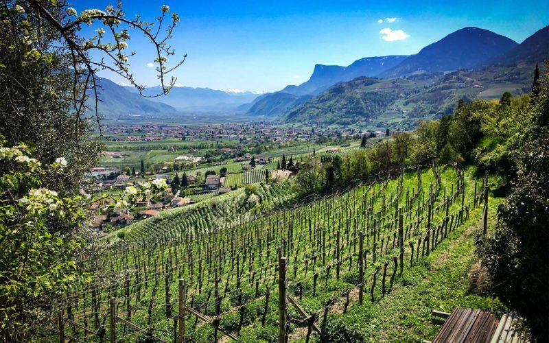 Vineyard looking towards Bolzano